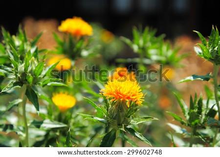 Carthamus tinctorius (false saffron) - stock photo