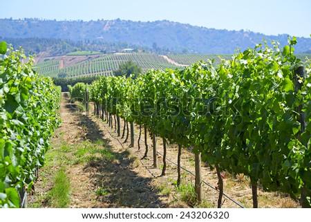 Casablanca valley vineyard, Chile - stock photo