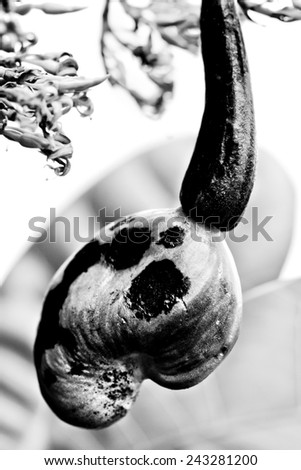 "cashew inflorescence with developing fruit (anacardium occidentale) - (ana means ""upwards"" and cardium means ""heart"")  - stock photo"