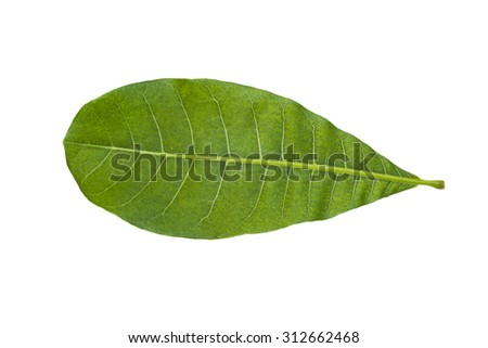 Cashew Nut green leaf isolated on white