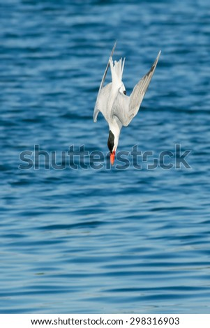 Diving Birds Stock Ima...