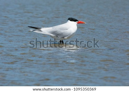 Caspian Tern standing in the shallow water facing into a strong wind. Ashbridges Bay Park, Toronto, Ontario, Canada.