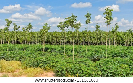 Cassava and rubber plantation in Thailand