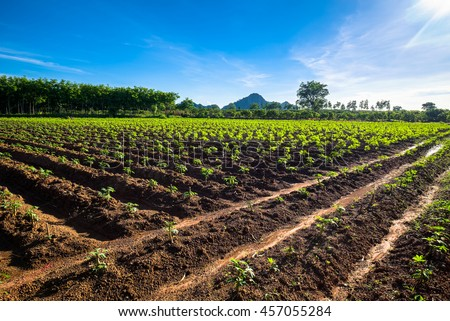 Cassava Farm at Noen Maprang district, Phitsanulok, Thailand - stock photo