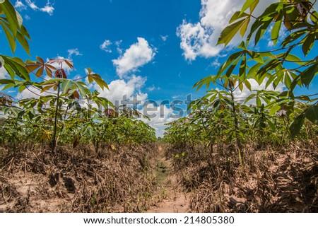 cassava field - stock photo