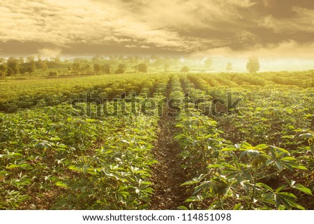 Cassava Field With Cloud Fog Over Mountain  in The Morning Sky in North of Thailand