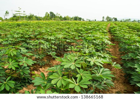 Cassava garden - stock photo