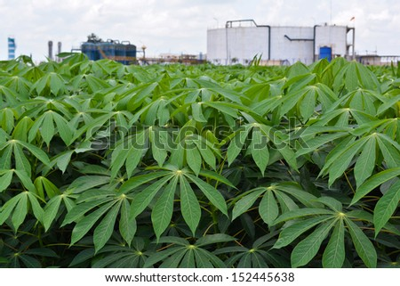 Cassava garden and Starch factory - stock photo