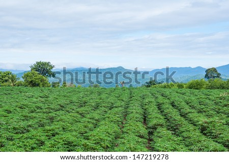 Cassava or manioc plant field  - stock photo