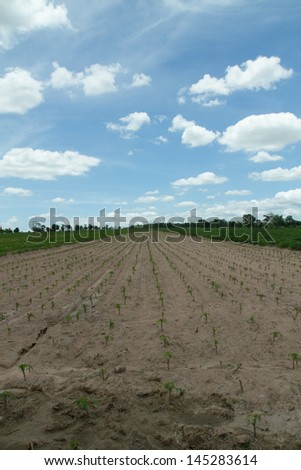 Cassava or manioc plant field in Thailand - stock photo