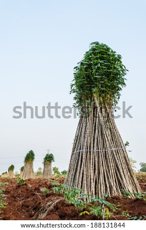 Cassava or manioc plant field - preparing young plant for the next crop. - stock photo