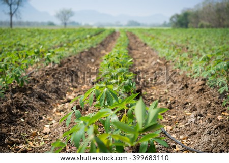 Cassava plantation Northeast of Thailand .selective focus - stock photo