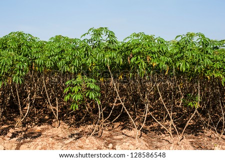 cassava tree - stock photo