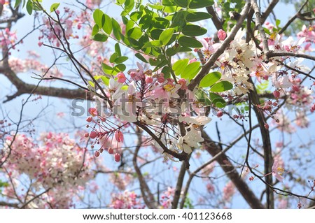 Cassia bakeriana, Wishing Tree, Pink Shower, Pink cassia, Flower blossom background, Pink tree - stock photo