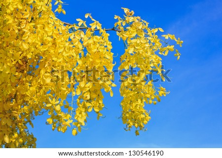 Cassia Fistula in clear blue sky. national tree of Thailand - stock photo
