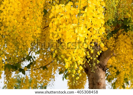 Cassia fistula. Thai golden flowers. Yellow bouquet. Thailand national flowers. Blooming flowers in summer of Thailand. Koon flowers.