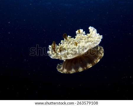 Cassiopea andromeda jellyfish contracting tissues to swim in the blue - stock photo