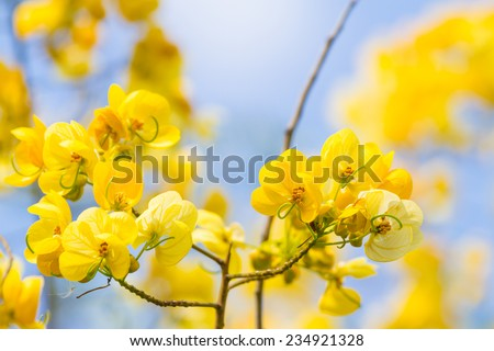 cassod tree, cassia siamea or siamese senna is yellow flower which is edible plant  - stock photo