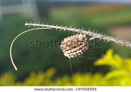 Casuarina equisetifolia (Common ironwood) Dry Fruit - stock photo