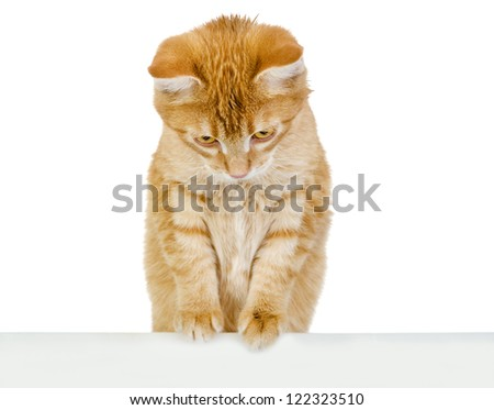 Cat above white banner. isolated on white background