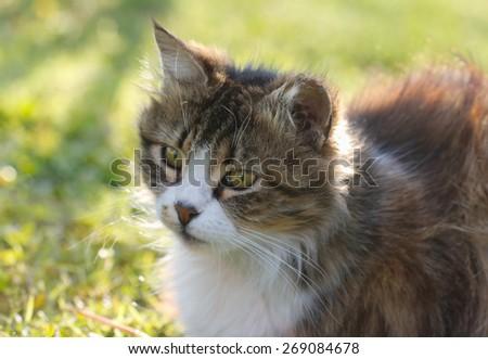 Cat against green background. Cat in autumn garden on grass. - stock photo