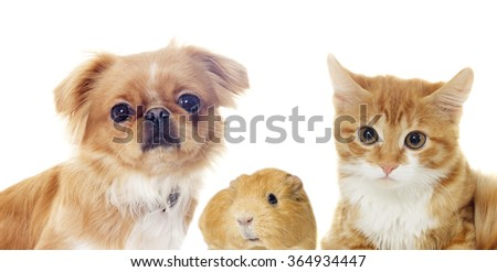 cat and a dog and guinea pig looking