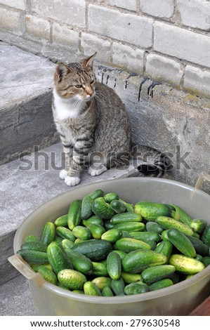 Cat and cucumbers in a bowl  - stock photo