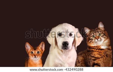 Cat and dog, abyssinian kitten , golden retriever - stock photo
