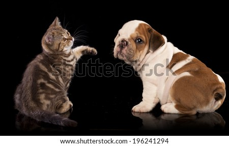 Cat and dog, British kitten and english Bulldog puppy - stock photo