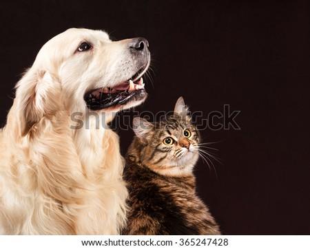 Cat and dog, siberian kitten , golden retriever looks at right - stock photo