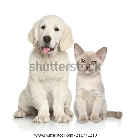 Cat and dog together. Golden Retriever puppy and Burmese kitten on white background - stock photo