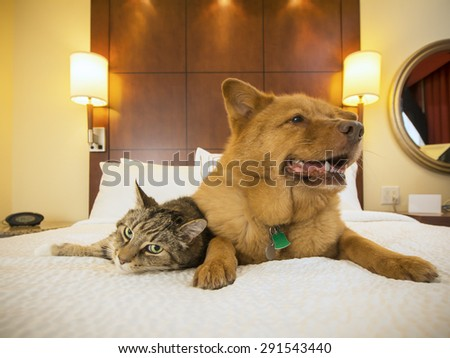 Cat and Dog together resting on bed of hotel room. - stock photo