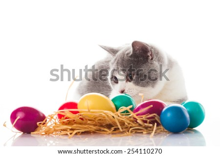 cat and easter eggs on white background.  funny british kitten with Easter egg - stock photo