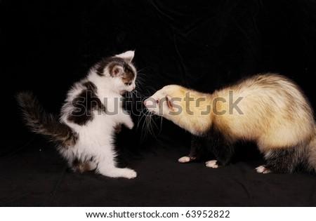 Cat and ferret playing - stock photo