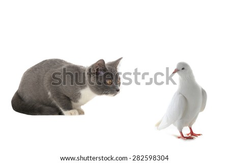 cat and pigeon on a white background