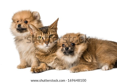 Cat and Pomeranian puppies - stock photo