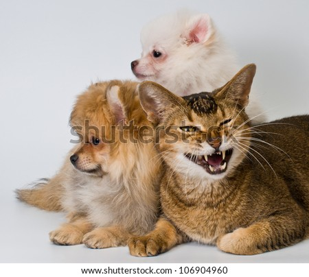 Cat and puppies in studio on a neutral background