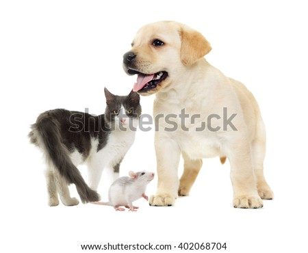 cat and puppy Labrador and rat