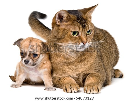 Cat and puppy of the chihuahua in studio