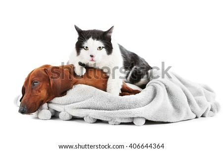 Cat and red dachshund on grey lounger, isolated on white. - stock photo