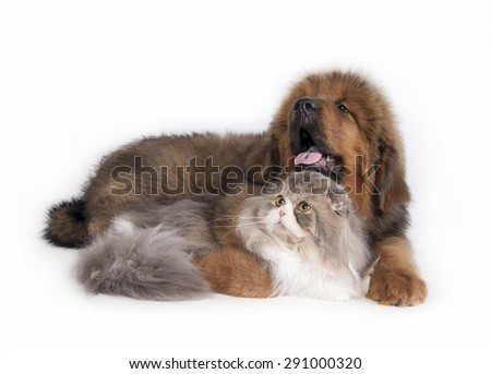 Cat and the dog. Tibetan Mastiff and highland fold - stock photo