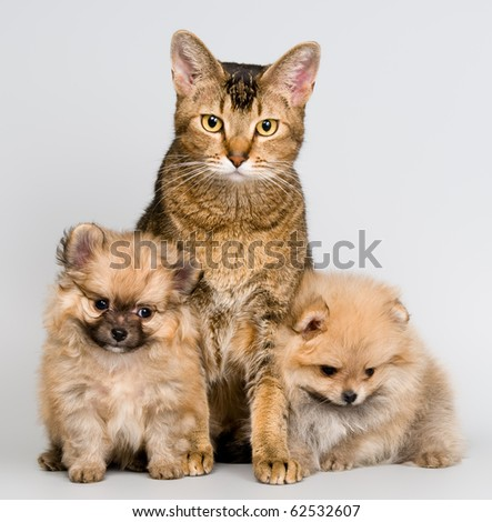 Cat and the puppies of the spitz-dog