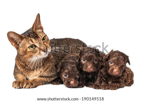 Cat and the puppy of the lapdog in studio - stock photo
