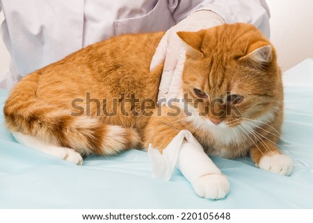 cat at the doctor cat violation is treated by vet - stock photo