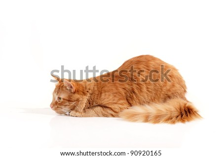 cat attention isolated on white background - stock photo