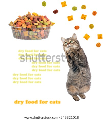 Cat begging for a delicious, dry food for animals - stock photo