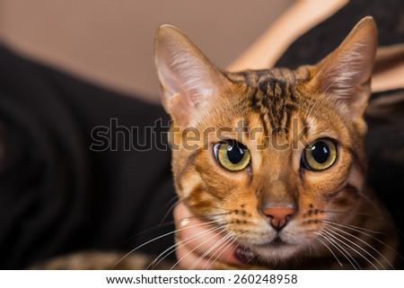 Cat Bengal breed. Pet. cat Bengali. Bengal cat. - stock photo