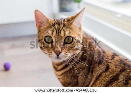 Cat Bengal breed. Pet. cat Bengali. Bengal cat. - stock photo