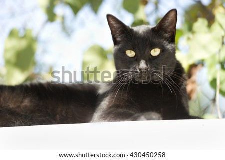 Cat black is a beautiful kitty with glowing green eyes sitting in the mid day sun surrounded by a nature background. - stock photo