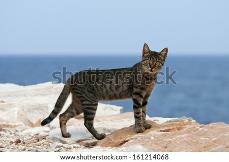 Cat, black tabby, at the edge of a cliff, Cyclades - stock photo
